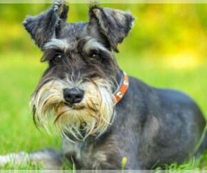 Schnauzer (Miniature) Dog Breeder in OGDEN,  USA