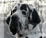 Great Dane Breeder in ADEL, GA, USA