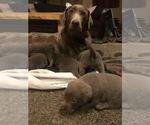 Labrador Retriever Breeder in EVERGREEN, CO, USA