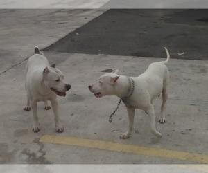 Dogo Argentino Dog Breeder near ABRAM, TX, USA