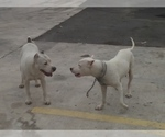 Dogo Argentino Breeder in ABRAM, TX, USA