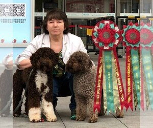 Lagotto Romagnolo Dog Breeder in Horodok,  Ukraine