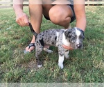 Catahoula Leopard Dog Breeder in CARRIZO SPRINGS, TX, USA
