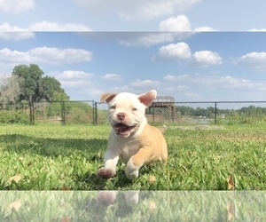 American Bulldog Dog Breeder in SEFFNER,  USA