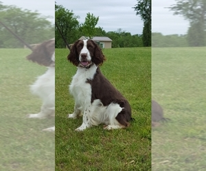 English Springer Spaniel Dog Breeder near NEWVILLE, PA, USA