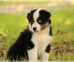 Miniature Australian Shepherd Breeder in HUNTINGTON, TX, USA