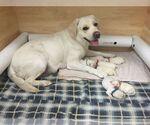 Labrador Retriever Breeder in PYLESVILLE, MD
