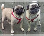 Pug Breeder in COPALIS BEACH, WA, USA