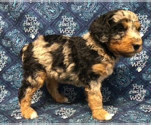 Aussiedoodle-Miniature Australian Shepherd Mix Dog Breeder in NUNN,  USA