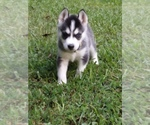 Huskimo Breeder in ATTALLA, AL, USA