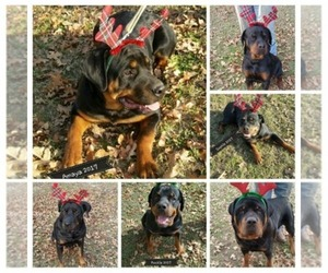 Main photo of Rottweiler Dog Breeder near IOLA, TX, USA