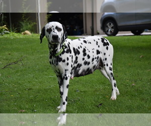 Main photo of Dalmatian Dog Breeder near MERCER, PA, USA