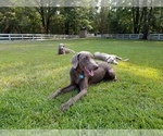 Weimaraner Breeder in QUITMAN, TX, USA