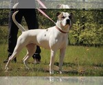 American Bulldog Breeder in WILKESBORO, NC, USA