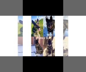 Main photo of German Shepherd Dog Dog Breeder near MARICOPA, AZ, USA