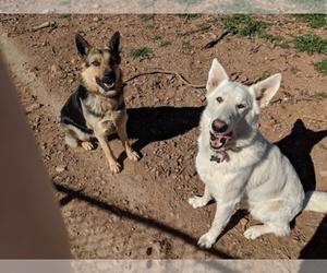 Main photo of German Shepherd Dog Dog Breeder near HUACHUCA CITY, AZ, USA