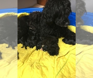 Portuguese Water Dog Dog Breeder near COOKEVILLE, TN, USA