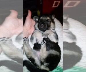 Main photo of German Shepherd Dog Dog Breeder near QUANAH, TX, USA