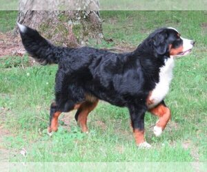 Main photo of Bernese Mountain Dog Dog Breeder near HOPKINSVILLE, KY, USA