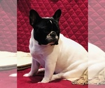 French Bulldog Breeder in COURTLAND, AL, USA