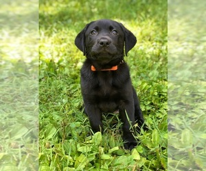 Main photo of Labrador Retriever Dog Breeder near BETHANY, CT, USA