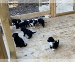 Portuguese Water Dog Breeder in FLORENCE, AL, USA