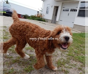 Main photo of Bernedoodle Dog Breeder near MIDDLEBURY, IN, USA