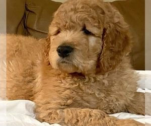 Double Doodle Dog Breeder in STATESVILLE,  USA