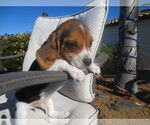 Beagle Breeder in EL CAJON, CA, USA
