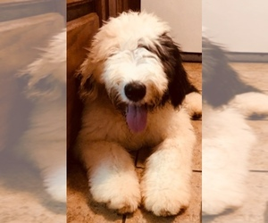 Old English Sheepdog Breed Information and Pictures on