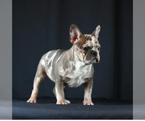Main photo of French Bulldog Dog Breeder near NEEDHAM, MA, USA