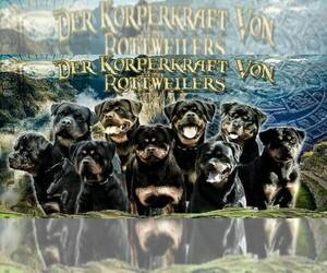 Main photo of Rottweiler Dog Breeder near MCDONOUGH, GA, USA