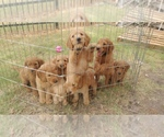 Goldendoodle Breeder in MIDLOTHIAN, TX, USA