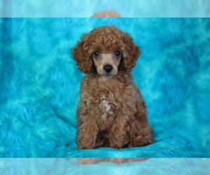 Poodle (Toy) Dog Breeder in GRAY,  USA