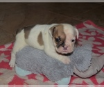 Bulldog Breeder in LOUISVILLE, KY, USA
