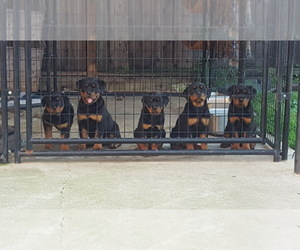 Main photo of Rottweiler Dog Breeder near ANTIOCH, CA, USA