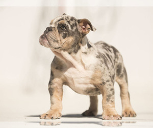 Main photo of French Bulldog Dog Breeder near FORT PIERCE, FL, USA