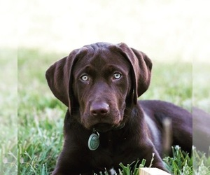 Main photo of Labrador Retriever Dog Breeder near RALEIGH, NC, USA