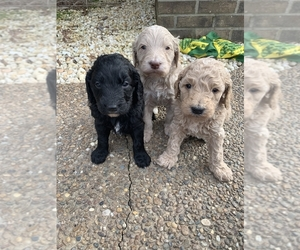 Goldendoodle (Miniature) Dog Breeder near MORGANTOWN, KY, USA