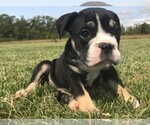 Olde English Bulldogge Breeder in PEMBERVILLE, OH, USA