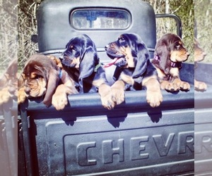 Bloodhound Dog Breeder near GADSDEN, AL, USA