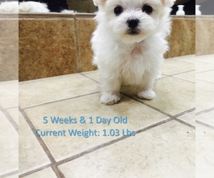 Main photo of Maltese Dog Breeder near ORLANDO, FL, USA