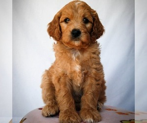 Goldendoodle Dog Breeder in NEWARK,  USA