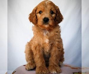 Goldendoodle Dog Breeder in NEWARK,  USA