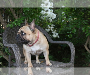 French Bulldog Breeder in SACRAMENTO, CA