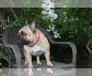 Main photo of French Bulldog Dog Breeder near SACRAMENTO, CA, USA