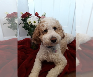 Main photo of Labradoodle-Poodle (Miniature) Mix Dog Breeder near EAGLE MOUNTAIN, UT, USA