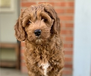 Australian Labradoodle Dog Breeder near MILL VALLEY, CA, USA