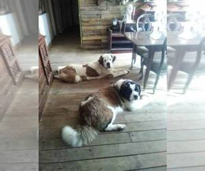 Saint Bernard Dog Breeder near MADISONVILLE, KY, USA