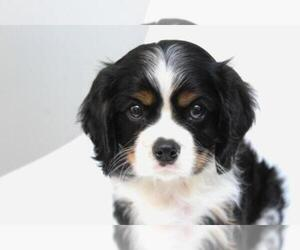 Cavalier King Charles Spaniel Breeder in SUGARCREEK, OH, USA